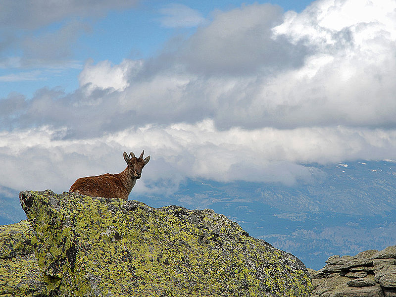 Capra pyrenaica hispanica en la Najarra