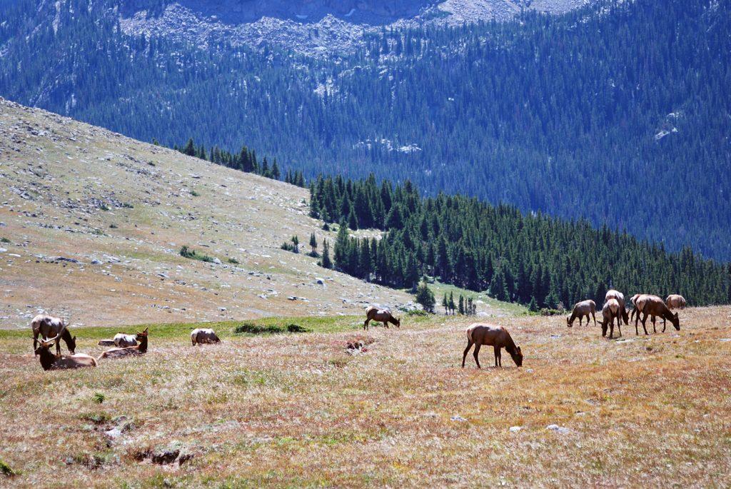 Manada de Ciervos Elk. Parque Nacional de las Rocosas. Colorado