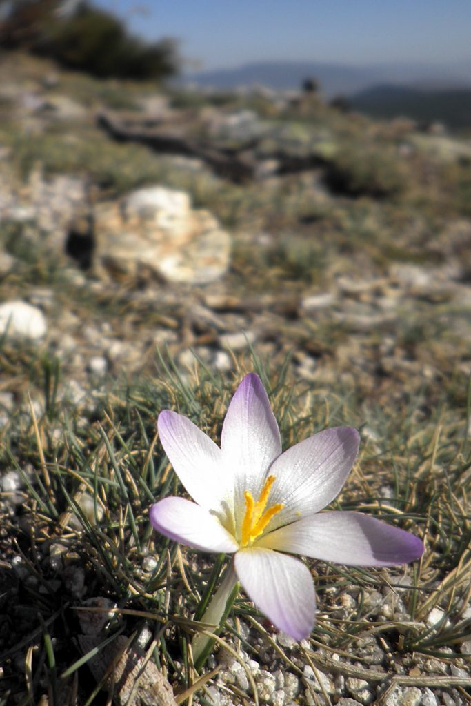 Azafrán serrano. Crocus carpetanus