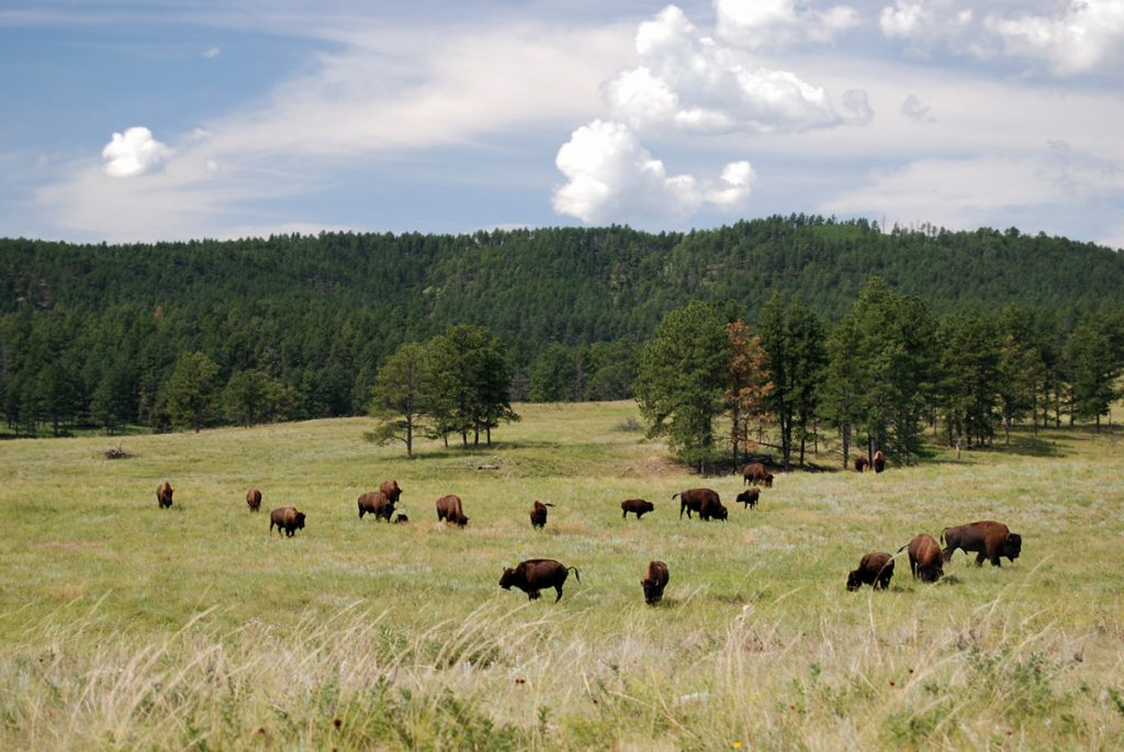 Custer State Park. Dakota del Sur.