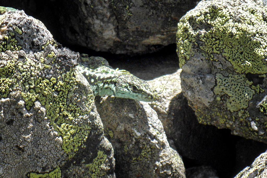 Lagartija carpetana (Iberolacerta cyreni)