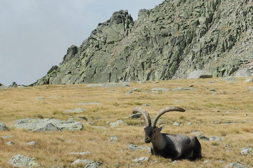 cabra montés o íbice ibérico