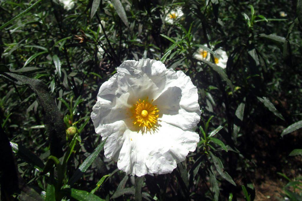 Flor de cistus o jara