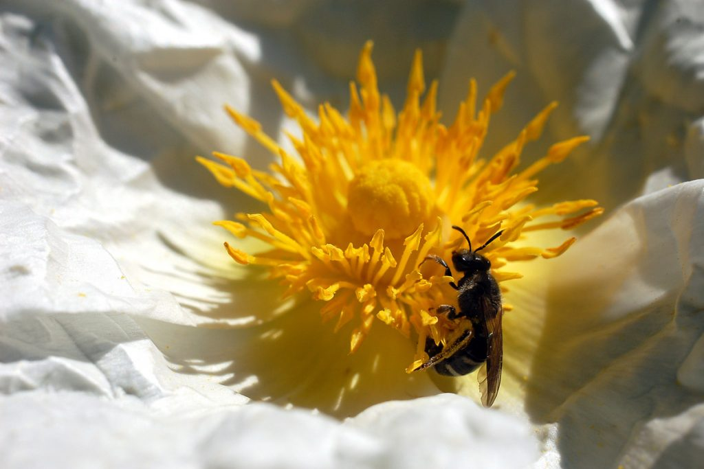 Insecto - cistus o jara