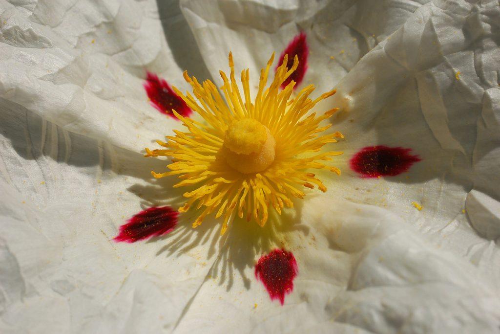 Estambres de flor de jara