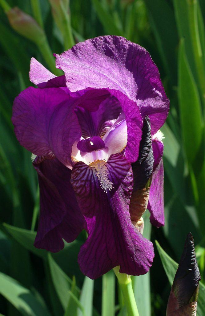 lirio azul (Iris latifolia)